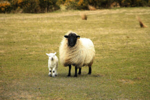 Irlande_moutons_600x400px